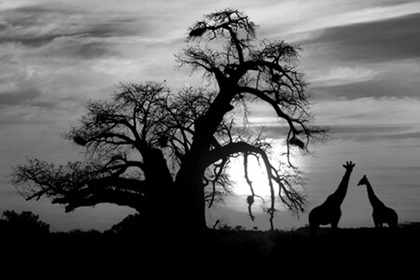 African Savannah at sunset, baoab and giraffe, black and white