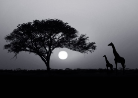 Kenyan Savannah at sunset with giraffes silhouette